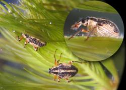Milfoil Weevils